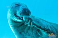 捂嘴偷笑的海豹,萌死了